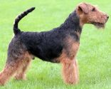 Perro terrier galés