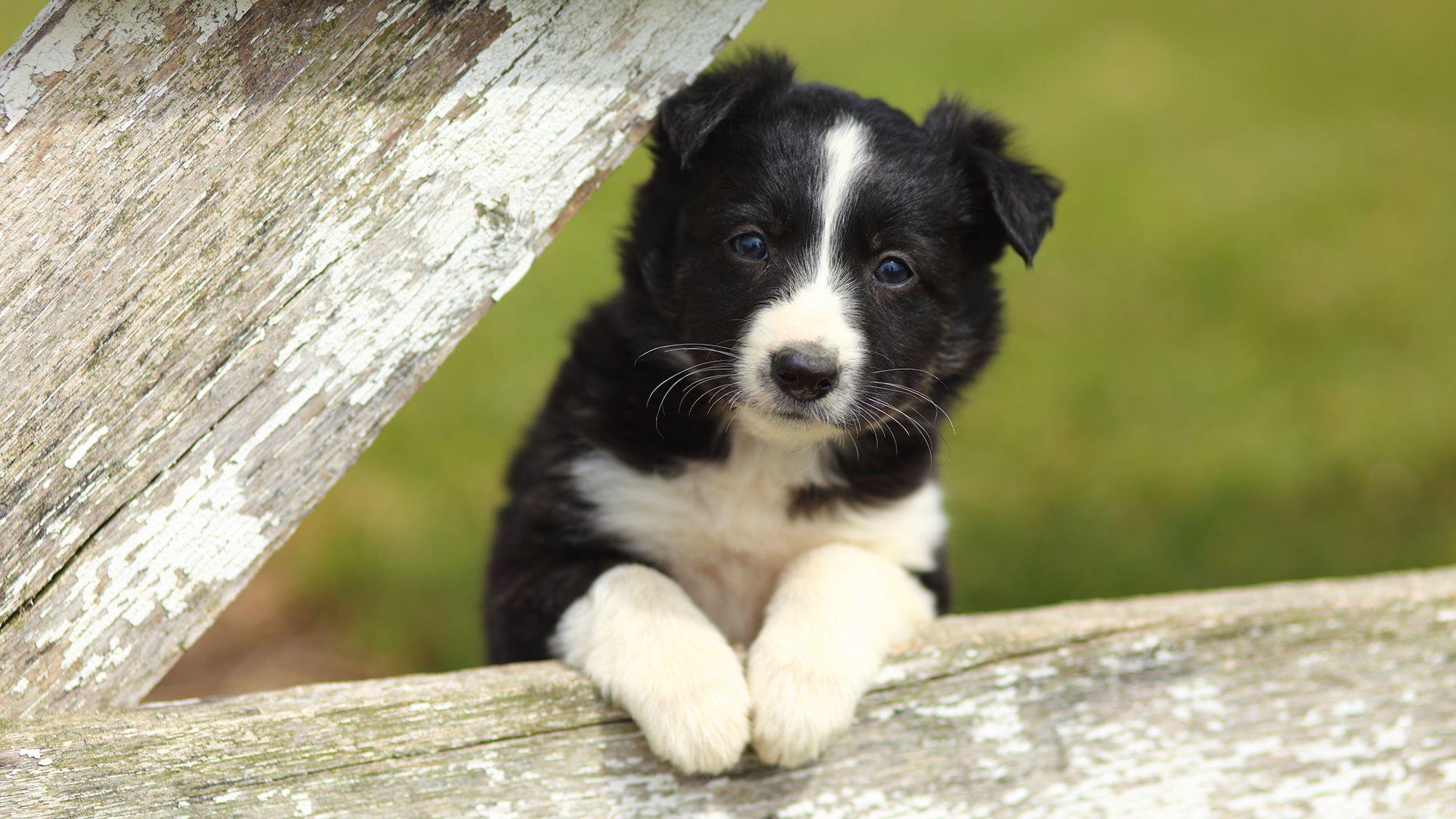 perro raza border collie