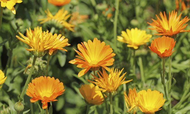 Cal ndula fichas de jardiner a cuidados plantas - Hogarmania jardineria ...