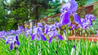 Lirio o Iris germánica en el jardín