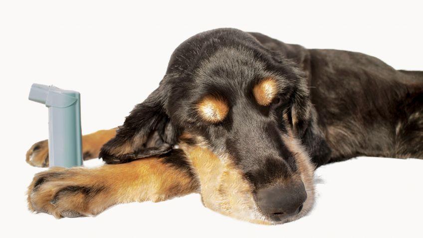 Cómo detectar y prevenir el asma en perros - Hogarmania