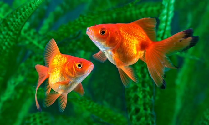Goldfish com n especie de pez mascotas hogarmania for Enfermedades de peces goldfish