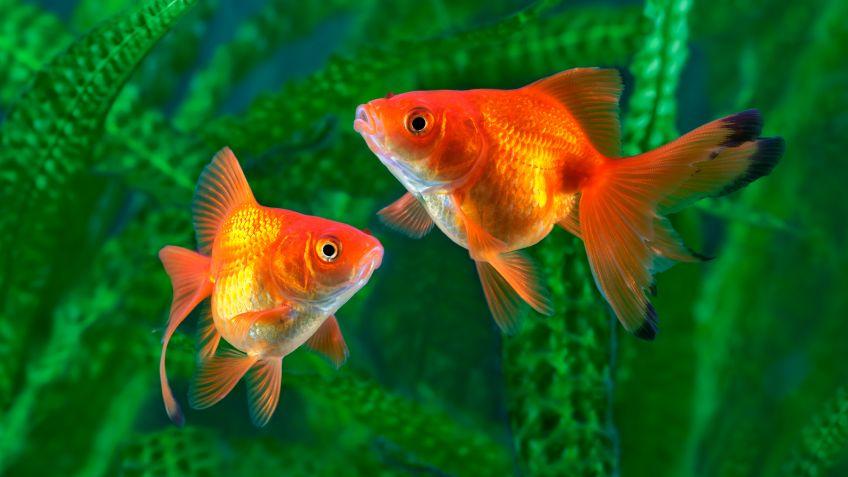 Goldfish Común - Especie de pez - Mascotas - Hogarmania