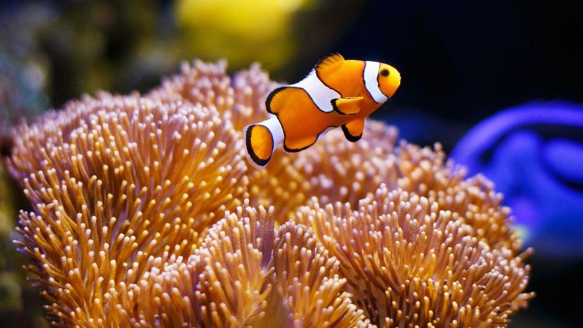 Pez payaso, el pequeño habitante de los arrecifes - Hogarmania