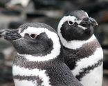 animales marinos peligro extinción - pingüinos