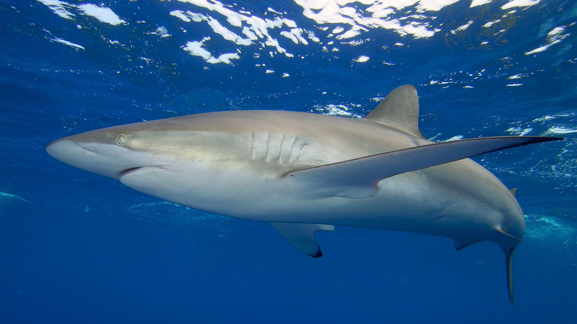 animales océano tiburones