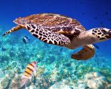 animales marinos peligros extinción - tortuga carey