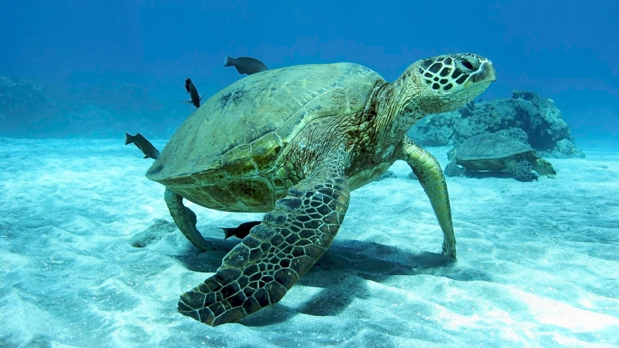 animales océano - tortugas