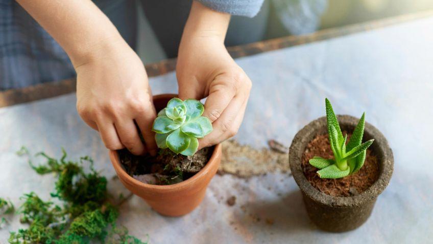 Reproducir plantas crasas con esquejes de hojas - Bricomanía