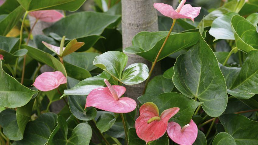 Flor de flamenco o anturio rosa - cuidados de plantas - Jardinería