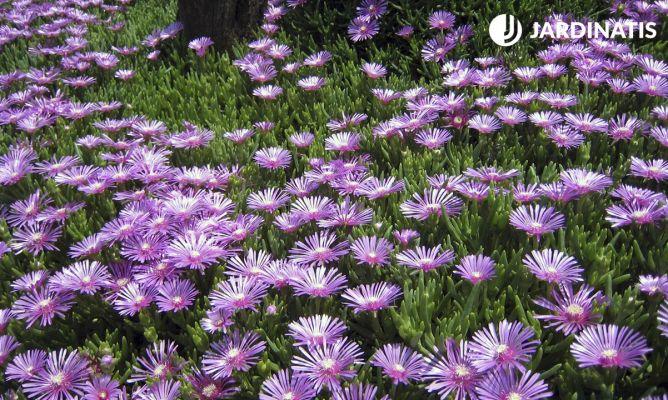 qu plantas rastreras tienen abundante floraci n hogarmania