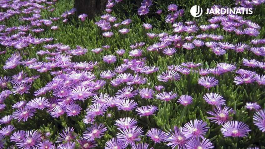 Qué plantas rastreras tienen abundante floración - Hogarmania