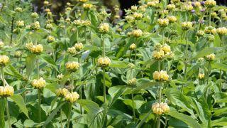 Plantas vivaces de floración amarilla