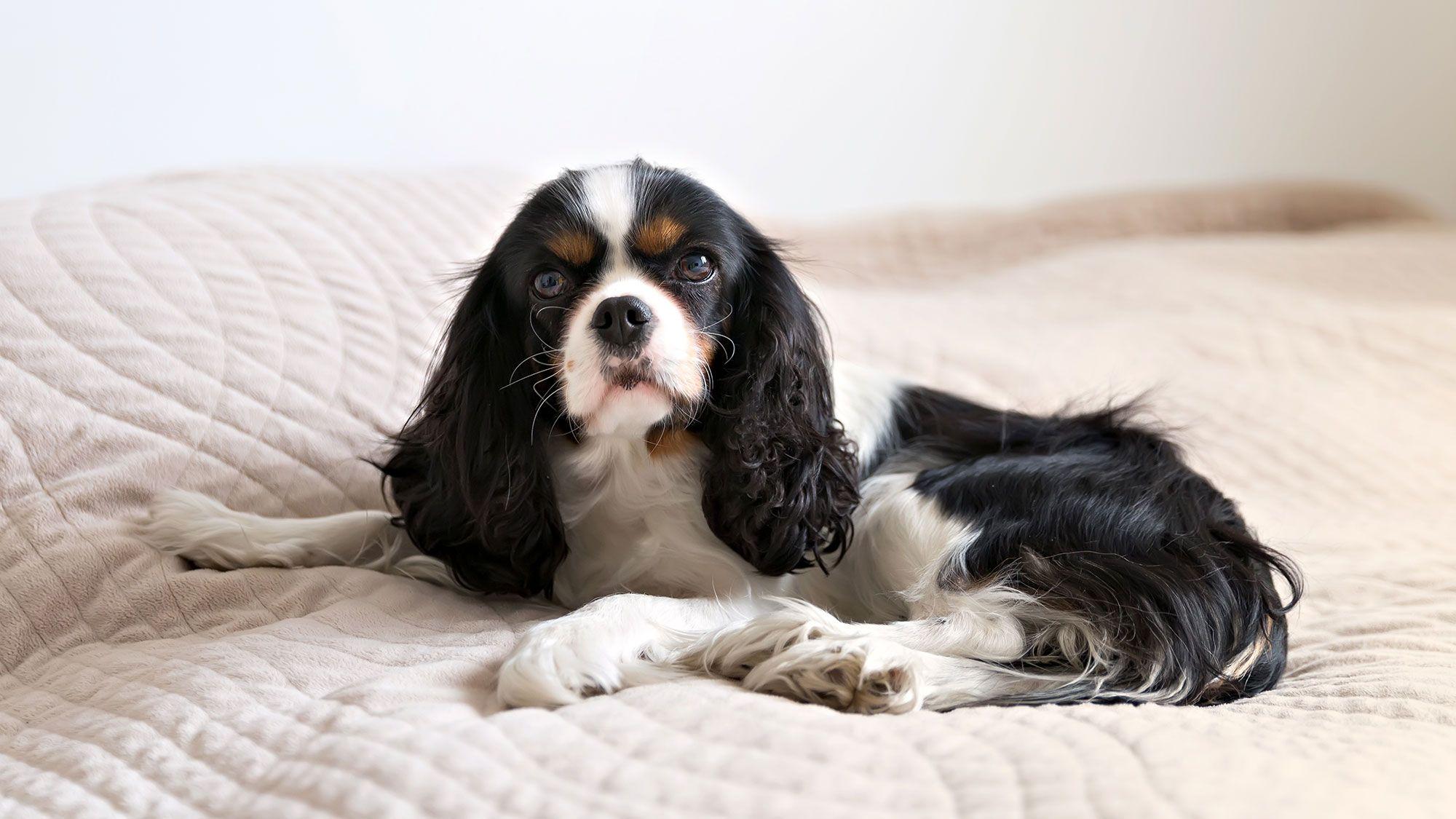perro inglés cavalier