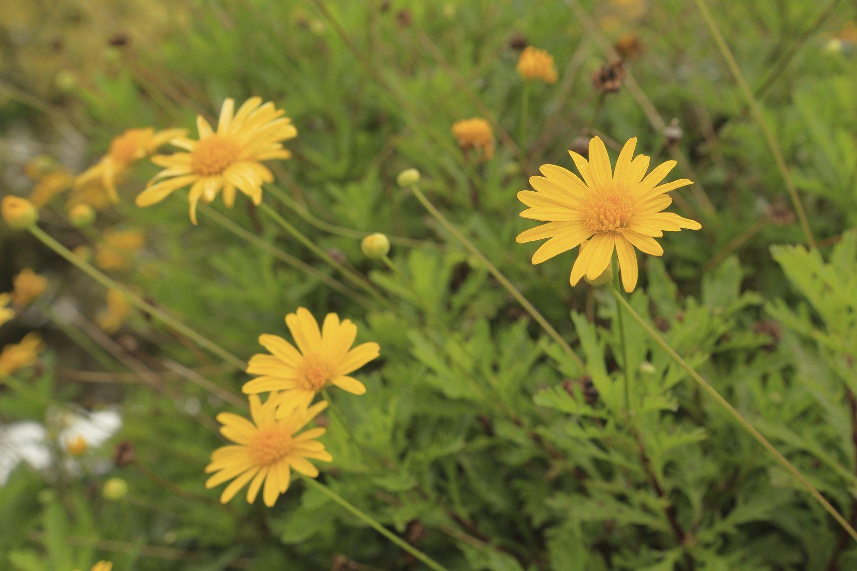 arbustos invierno - Euryops