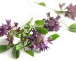 plantas caída cabello - alfalfa