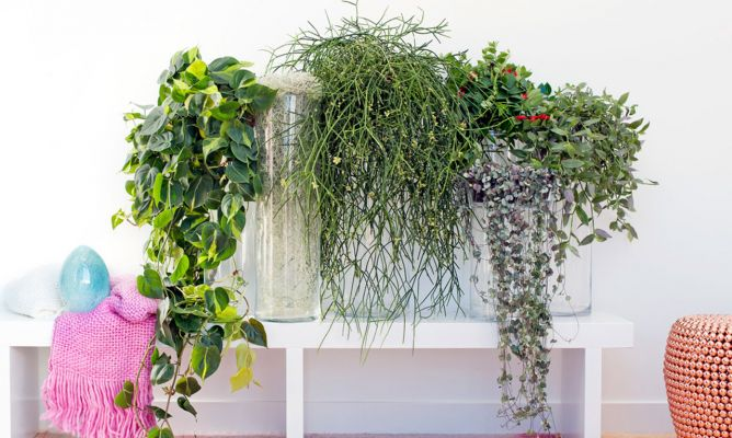 Plantas Colgantes Para Disfrutar Dentro De Casa Hogarmania