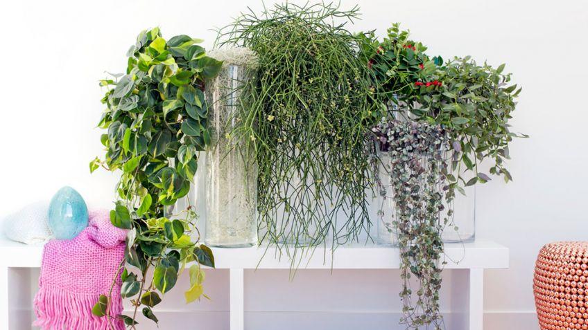 plantas colgantes para disfrutar dentro de casa - Plantas Colgantes