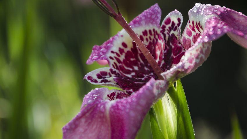 cuidados de la flor de un día o tigridia hogarmania