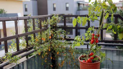 tomateras para jardineras en balcones