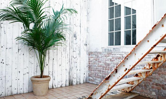 Kentia una palmera de interior muy bella hogarmania for Plantas de interior tipo palmera