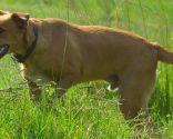 raza perro origen África - africanis