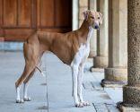 razas perros África - Azawakh