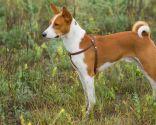 razas perro África - Basenji