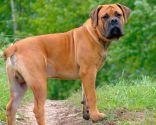 razas perro África - Boerboel