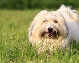 raza perro áfrica - cotton de tulear