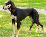 razas perro áfrica - rodeshian ridgeback