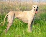 razas perro África - Rhodesian Ridgeback