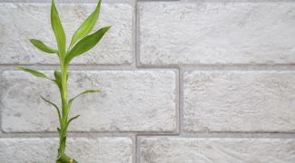 plantar bambú de la suerte