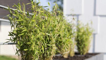 C mo plantar el bamb de la suerte hogarmania - Bambu planta exterior ...