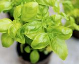 plantas contra mosquitos - albahaca