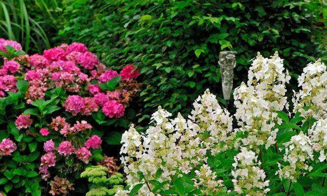 4 variedades de hortensia paniculata decogarden - Variedades de hortensias ...