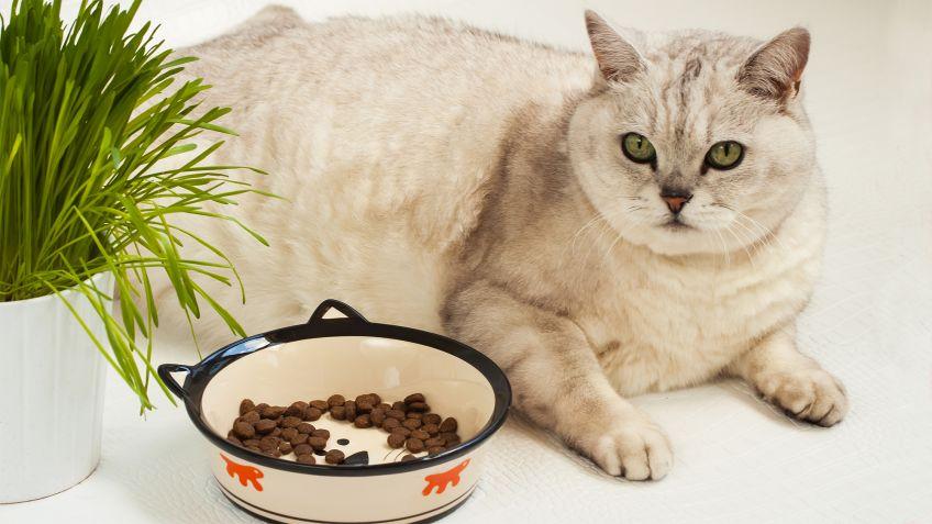 Resultado de imagen para Enfermedad del hígado graso en los gatos