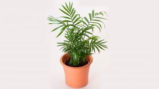 planta chamaedorea elegans