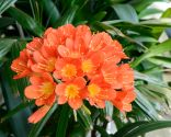 plantas resistentes - clivia miniata