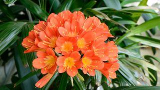 planta clivia miniata