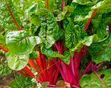 plantas invierno - acelgas tallo rojo