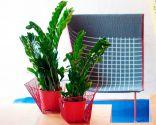 plantas resistentes- zamioculca