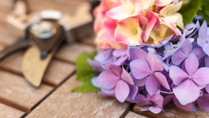 Por qu tus hortensias dan hojas pero no flores hogarmania - Cuando podar las hortensias ...