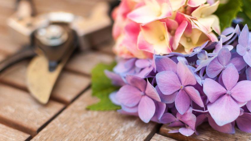 Como Podar Las Hortensias Bricomania - Hortensias-cuidados-poda