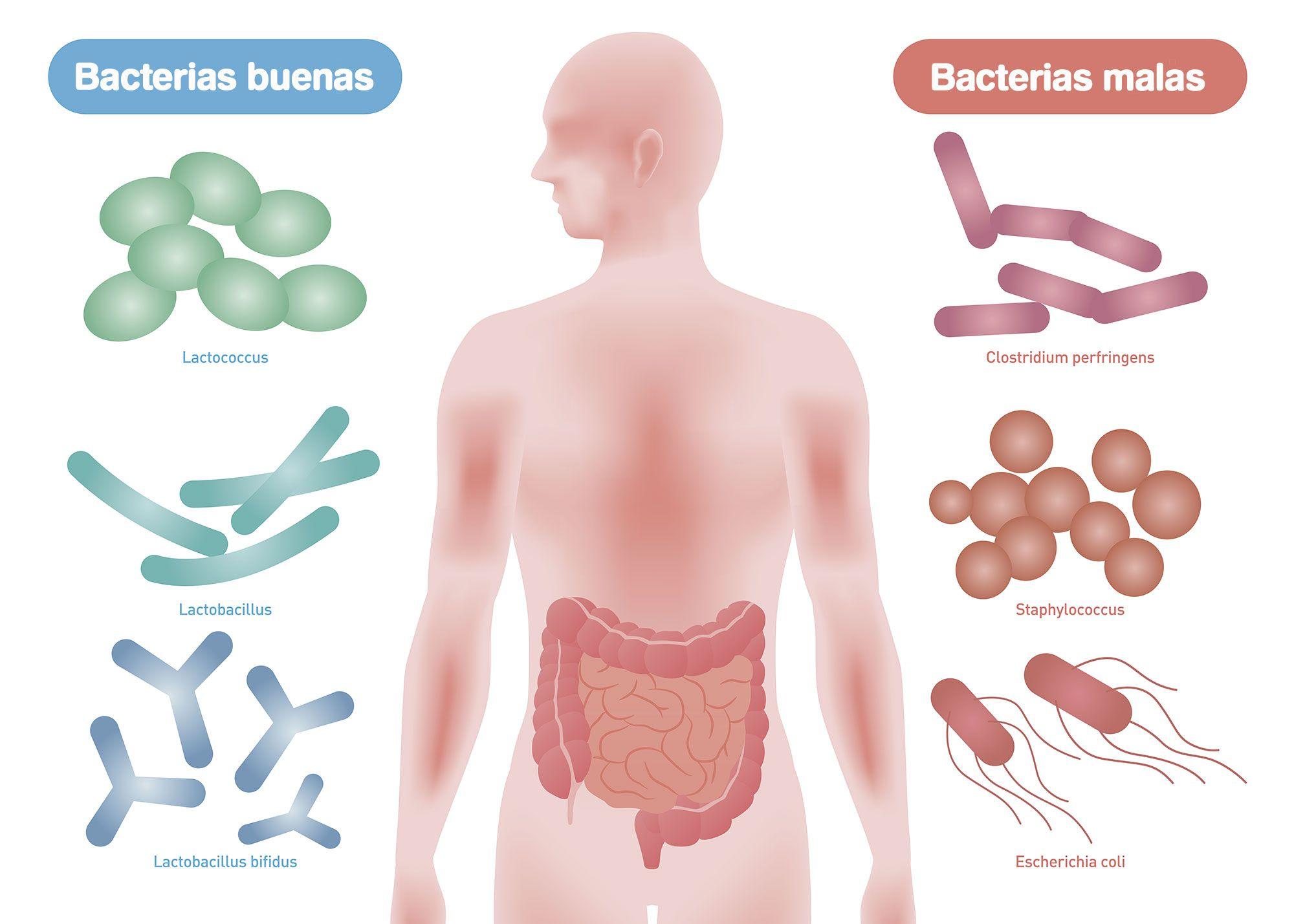 bacterias intestino buenas y malas