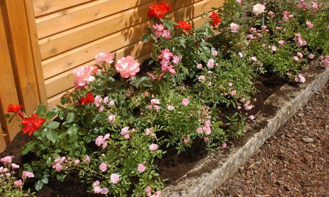 plantar rosales arbustivos y cubresuelos hogarmania