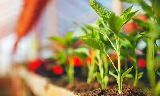 Plantas y hortalizas para cultivar en invernadero bricoman a for Invernaderos de jardin