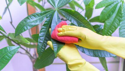cmo limpiar y dar brillo a las hojas plantas de interior