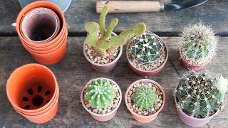 ¿Cómo se reproducen los cactus mediante esquejes?