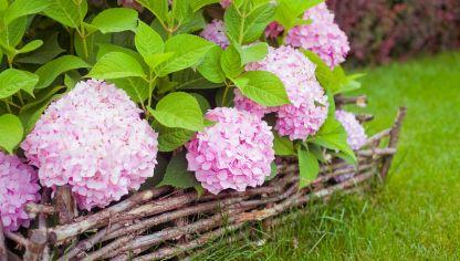 Por qu tus hortensias dan hojas pero no flores hogarmania - Cuando podar hortensias ...
